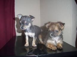 short haired chorkie chihuahua puppies in oklahoma