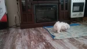 bichon frise kentucky male bichon frise playing youtube