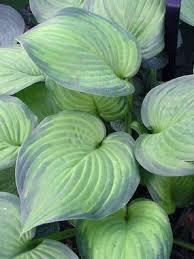Fragrant Shade Plants - 294 best plants images on pinterest flower gardening garden
