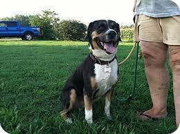 australian shepherd needs cindy lou urgent in md adopted dog lebanon me australian