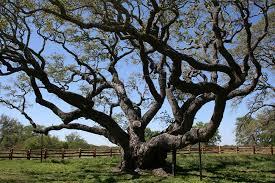 this 1 000 year oak tree survived hurricane harvey popular