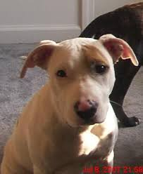 american pitbull terrier hound mix pinknose in pit bulls or other breeds pitbulls boxers