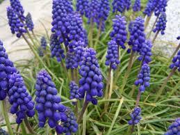 spring flower muscari armeniacum wikipedia