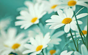 yellow daisy wallpapers daisies tag wallpapers page 2 cape finisterre spain flowers