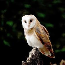 Scientific Name Of Barn Owl Common Garden Birds Of India Part Ii Greenmylife Anyone Can