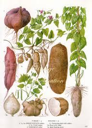 vintage botanical print antique sweet potato bean yam 183
