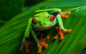a day in the of the eyed tree frog in the
