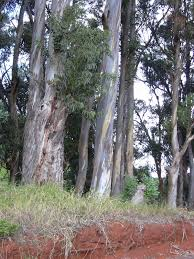 native plants tasmania eucalyptus globulus wikipedia