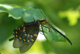 black shouldered spinyleg dragonfly em