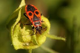 was ist das für ein insekt eine wanze oder was urlaub insekten käfer wanze feuerwanze kostenloses foto auf pixabay