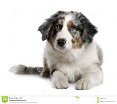 5 monate alter australian shepherd australian shepherd puppy 5 months old stock photo image 17255470