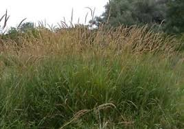 phalaris arundinacea ornamental grass seeds ebay