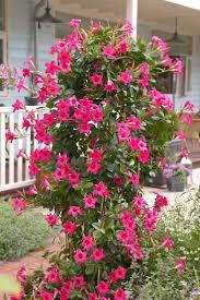 Flowering Patio Plants 57 Best Allamanda Varities Images On Pinterest Gardening