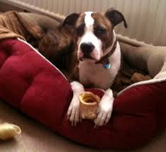 8 month old boxer dog weight bulloxer american bulldog boxer mix info puppies and pictures