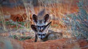 bat eared fox kits in kgalagadi transfrontier park botswana