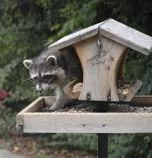 feeding birds feederwatch
