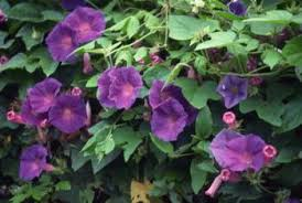 Purple Flower On A Vine - the fastest growing climbers u0026 vines home guides sf gate