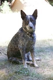 blue heeler x australian shepherd 311 best blue heelers images on pinterest australian cattle dog