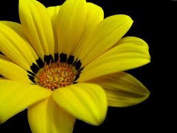 Yellow Flower - great yellow flower wallpapers hd wallpapers