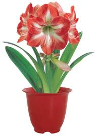 amaryllis flower kit minerva amaryllis bulb