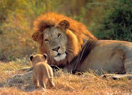 imagenes de animales carnivoros para imprimir león panthera leo características rugido qué comen