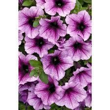 petunia flowers proven winners supertunia bordeaux petunia live plant light