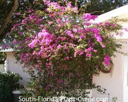 Flowering Shrubs That Like Full Sun - bougainvillea