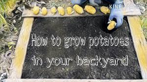 how to grow potatoes in your backyard youtube