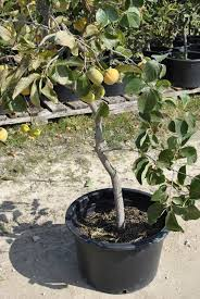 growing fruit trees in containers part 2 stark bro s