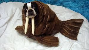 dog halloween costumes images echo the walrus 9 steps with pictures