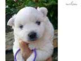 miniature american eskimo dog life expectancy view ad american eskimo dog puppy for sale tennessee knoxville usa