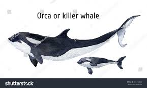 watercolor orca whalekiller whale isolated on stock illustration