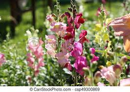 snapdragon flowers snapdragon flowers in garden antirrhinum majas flowers of