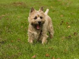cairn hair cuts 94 best cairn terrier scotland images on pinterest doggies