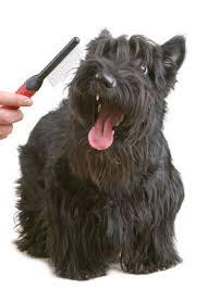 scottish yerrier haircuts scottish terrier vetwest animal hospitals