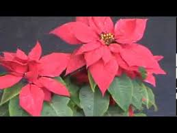 Christmas Plants Poinsettia Or Christmas Plant Indoor Flowering Plant Pot Youtube