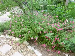 pruning native plants texas native plant week u2013rock rose pavonia lasiopetala my