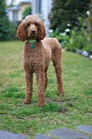 poodles long hair in winter 40 poodle haircuts you ll definitely love hairstylec