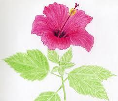 hibiscus flowers drawing tutorial sanatoriy ulitkino ru