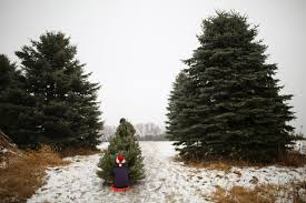 picking your own at krueger u0027s christmas tree farm startribune com