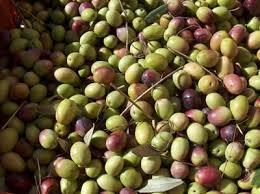 italian olives italian olives green italian olives black italian olives olive