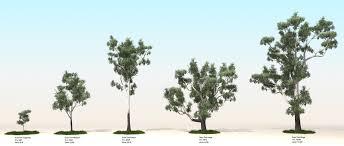 Eucalyptus Trees Download Small Eucalyptus Tree Solidaria Garden