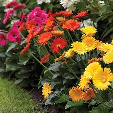 gerbera plant the 25 best gerbera plant ideas on front porch