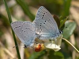 saving the small blue butterfly our warwickshire