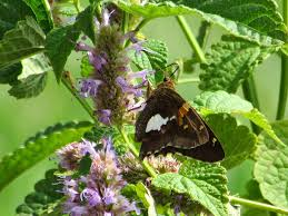 non native plant orange explains it all butterfly bush versus native hyssop in