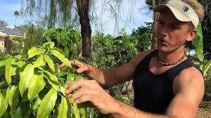 100 az fruit trees fruit trees archives u2022 koolau