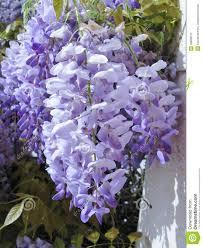 a close up of a blue climbing plant stock photo image 39839576