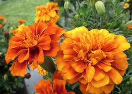 Marigolds Shade by Best New Annual Flowers Of 2017 Garden Housecalls