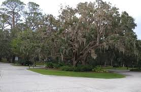 gorgeous trees with moss picture of jekyll island