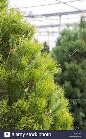 scotch pine christmas tree scotch pine christmas tree stock photo royalty free image